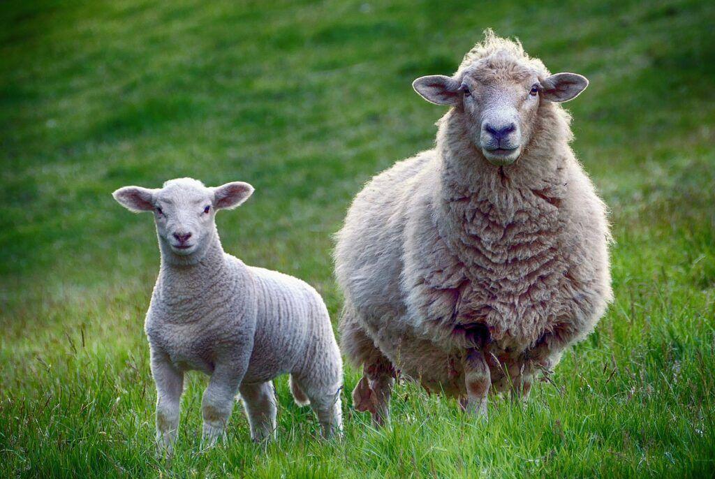 Imagen de una oveja y un cordero