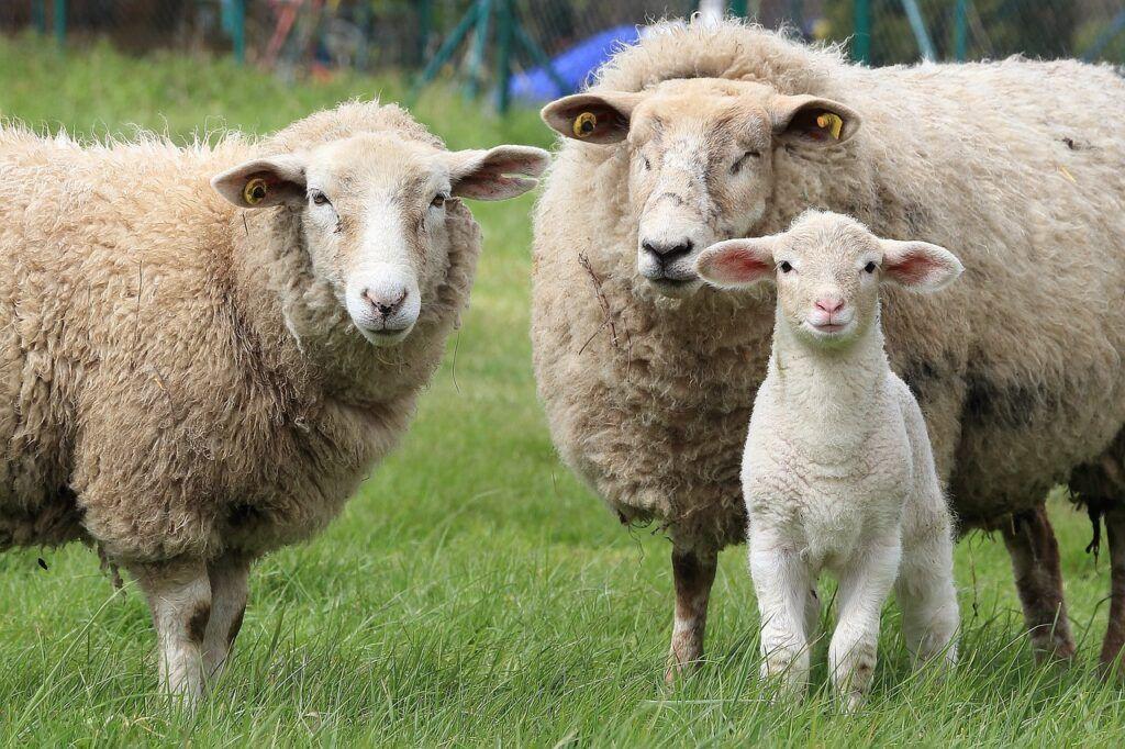 Una oveja, un carnero y un borrego en el prado