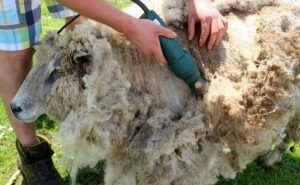 Esquilando una oveja